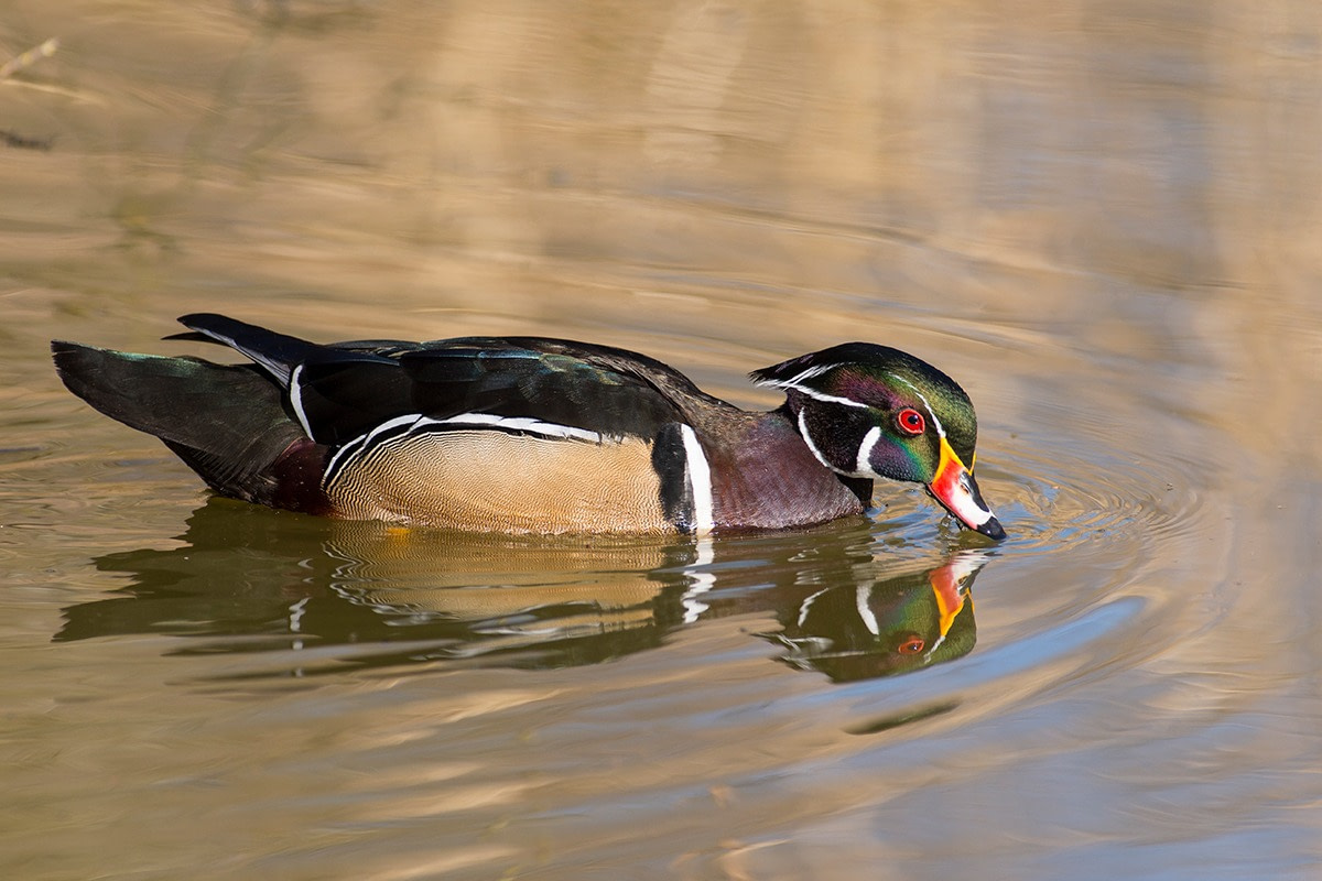 Male Wood Duck floating and making ripples in a pond