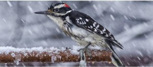 Be a Citizen Scientist at Home with Project FeederWatch