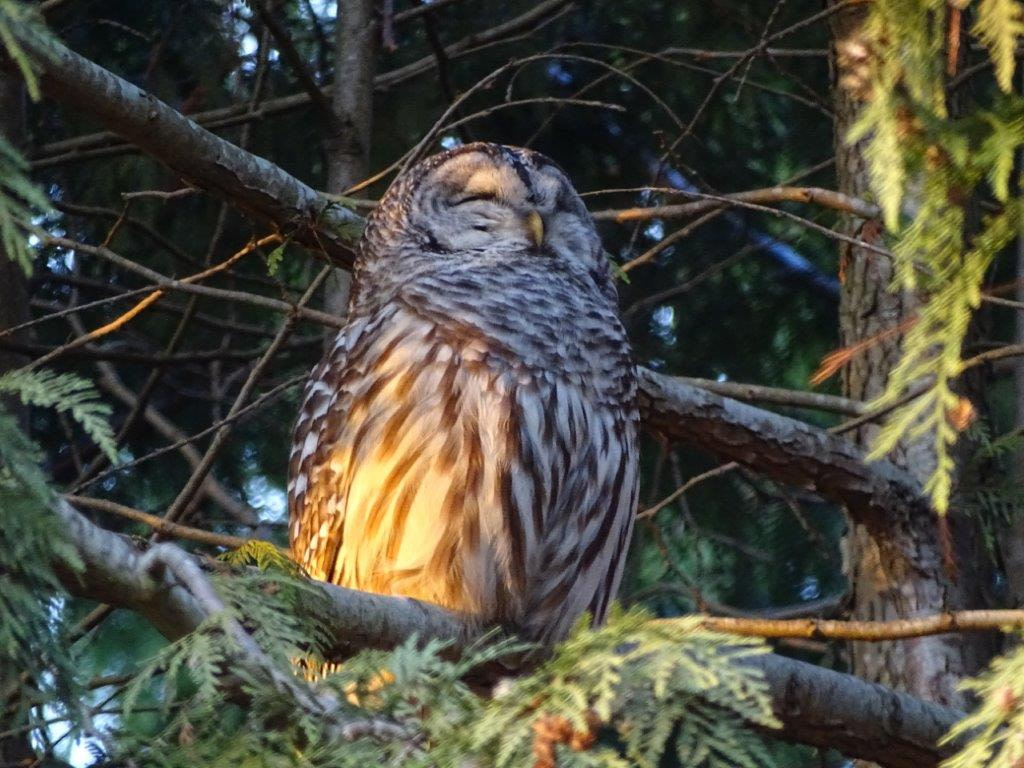 A Barred Owl perched in a cedar with its eyes shut