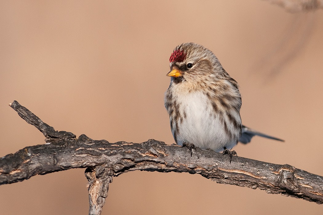 A streaky Common Redpoll perched on a branch in front of a pink-beige background