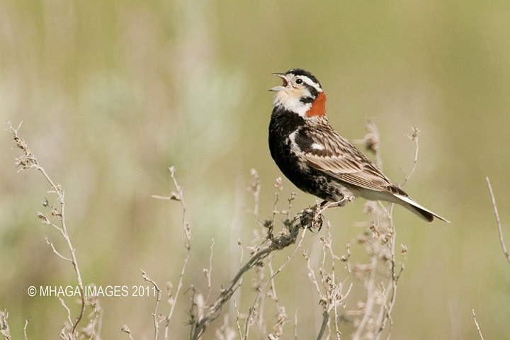 A male Chestnut-collared Longspur singing