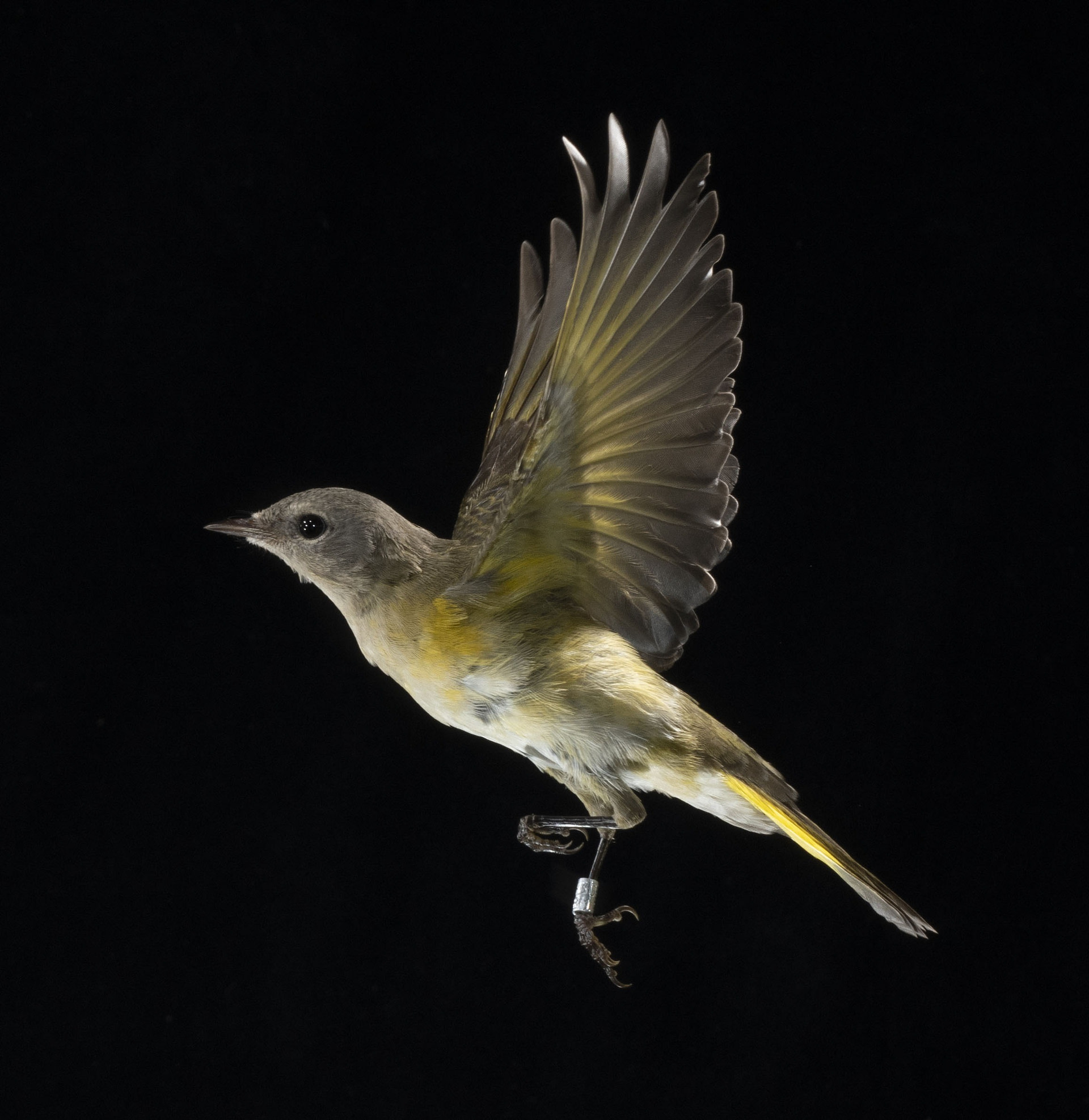 American Redstart in flight in front of a black background