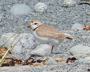 Piping Plovers Saw Many Successes, Some Challenges in 2018