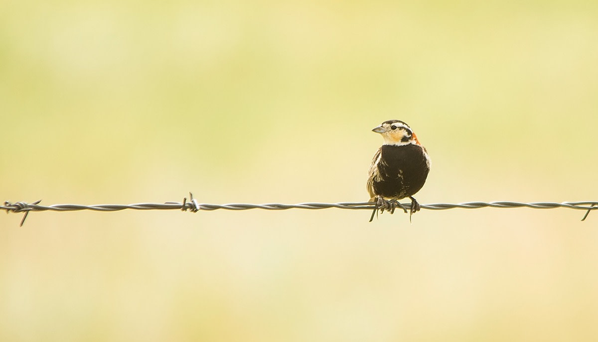 Chestnut-collared Longspur perched on a barbed wire fence with a yellow background