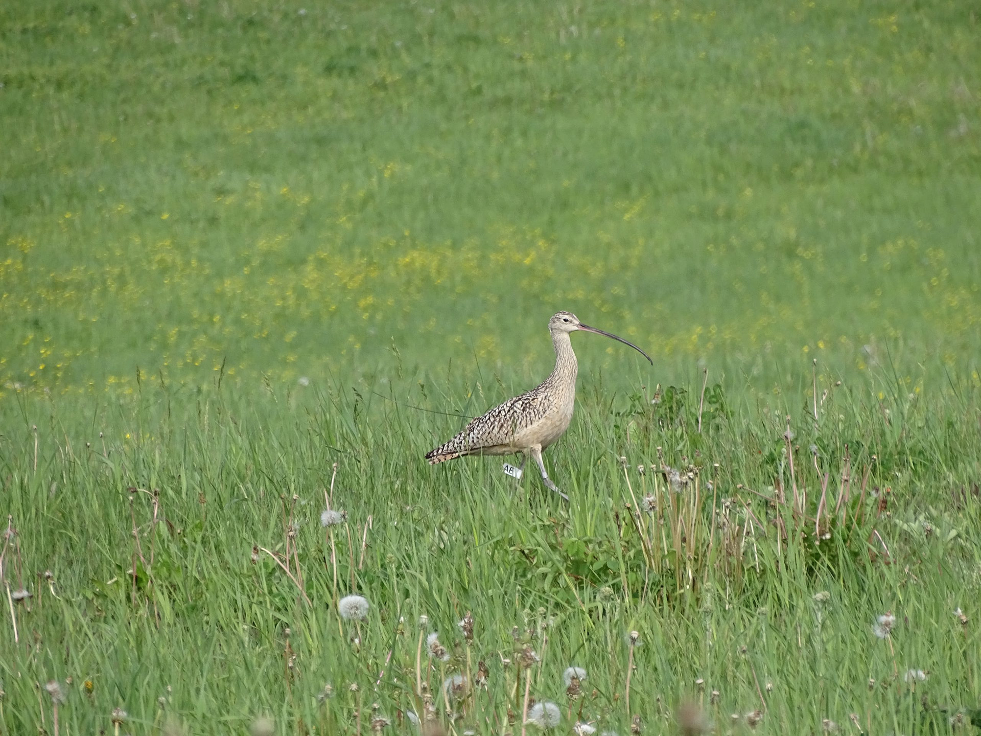 Celebrating Curlews in Canada's west and beyond!