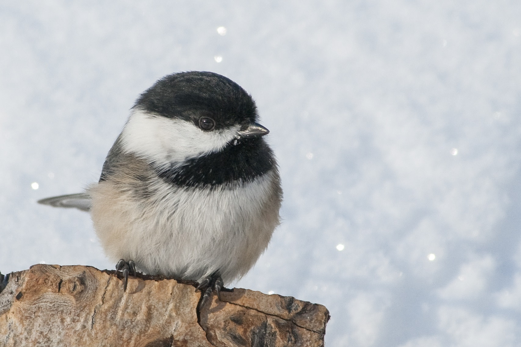 A cute Black-capped Chickadee perched in front of a wall of shimmering snow