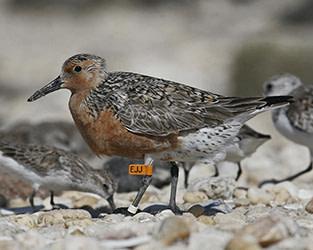 New Motus Partnership for Shorebirds Takes Flight