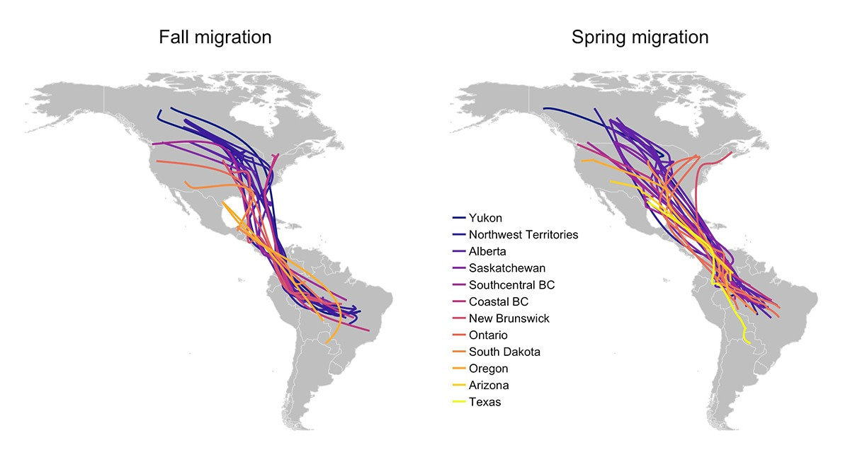 Maps showing spring and fall migration routes of different common nighthawk populations migrating between Canada and South America