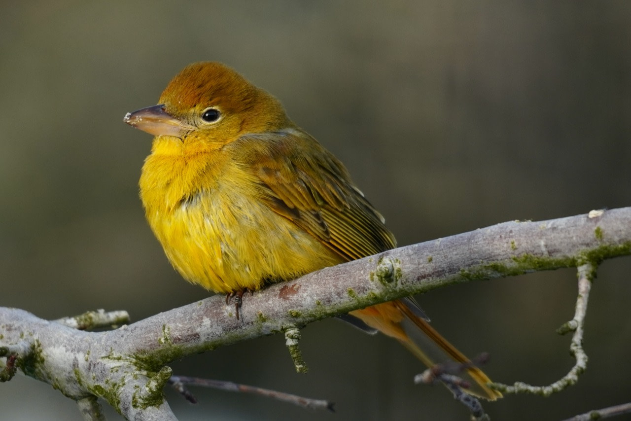 A summer Tanager on a branch.
