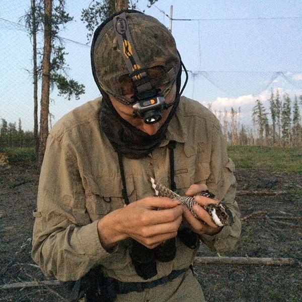 Researcher in the field holding a Common Nighthawk after removing it from a mist net