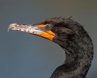 Response to Proposed Hunting Season for Cormorants in Ontario