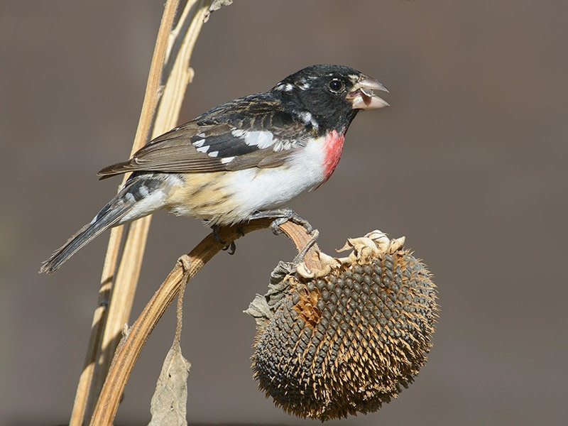 Rose-breasted Grosbeak perched on a sunflower-like plant and gorging himself on autumn seeds
