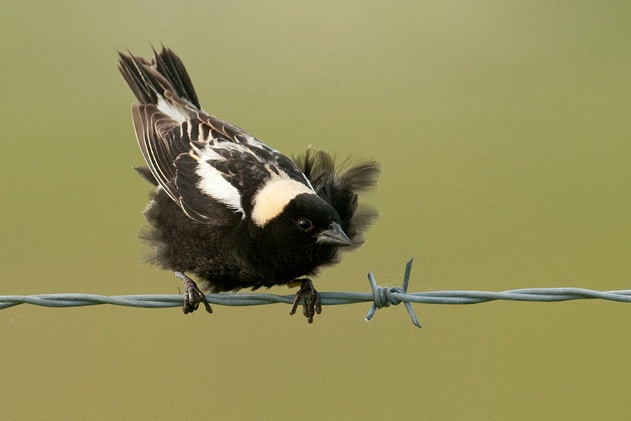 A male Bobolink fluffing its jet black feathers. It's perched on a barbed wire in front of an olive green background