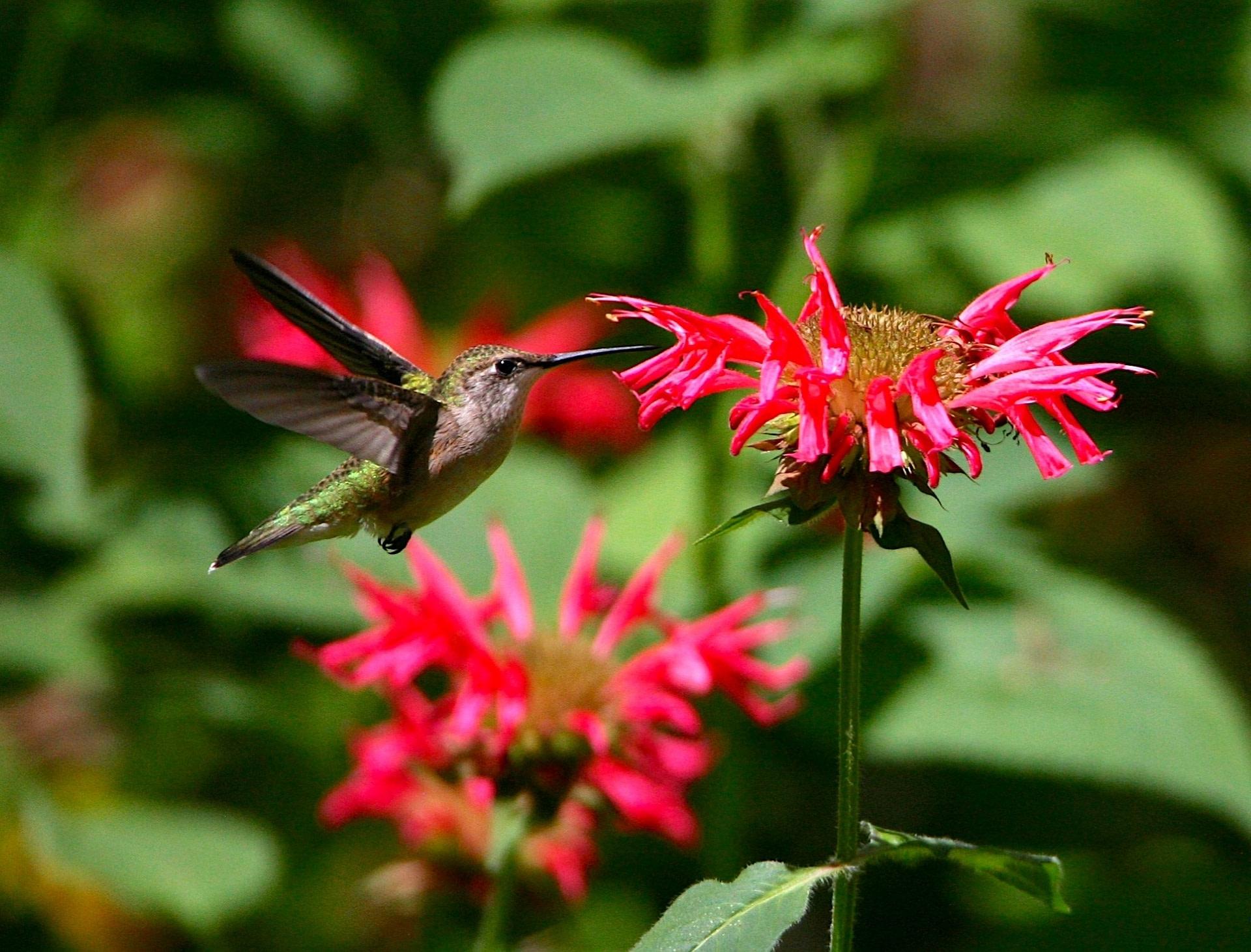 Ruby-throated Hummingbird on flower