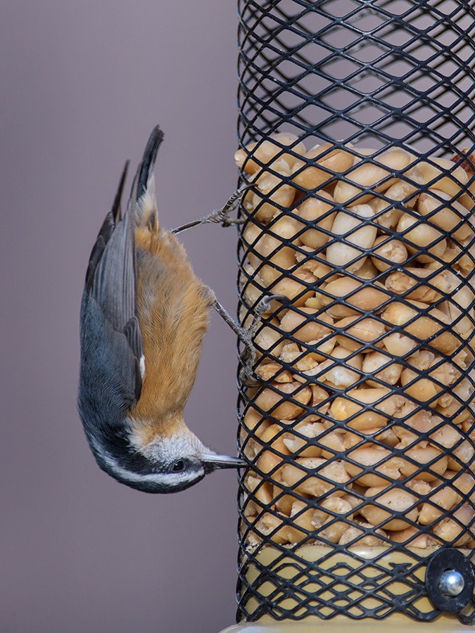 A Red-breasted Nuthatch clinging to a feeder upside-down.