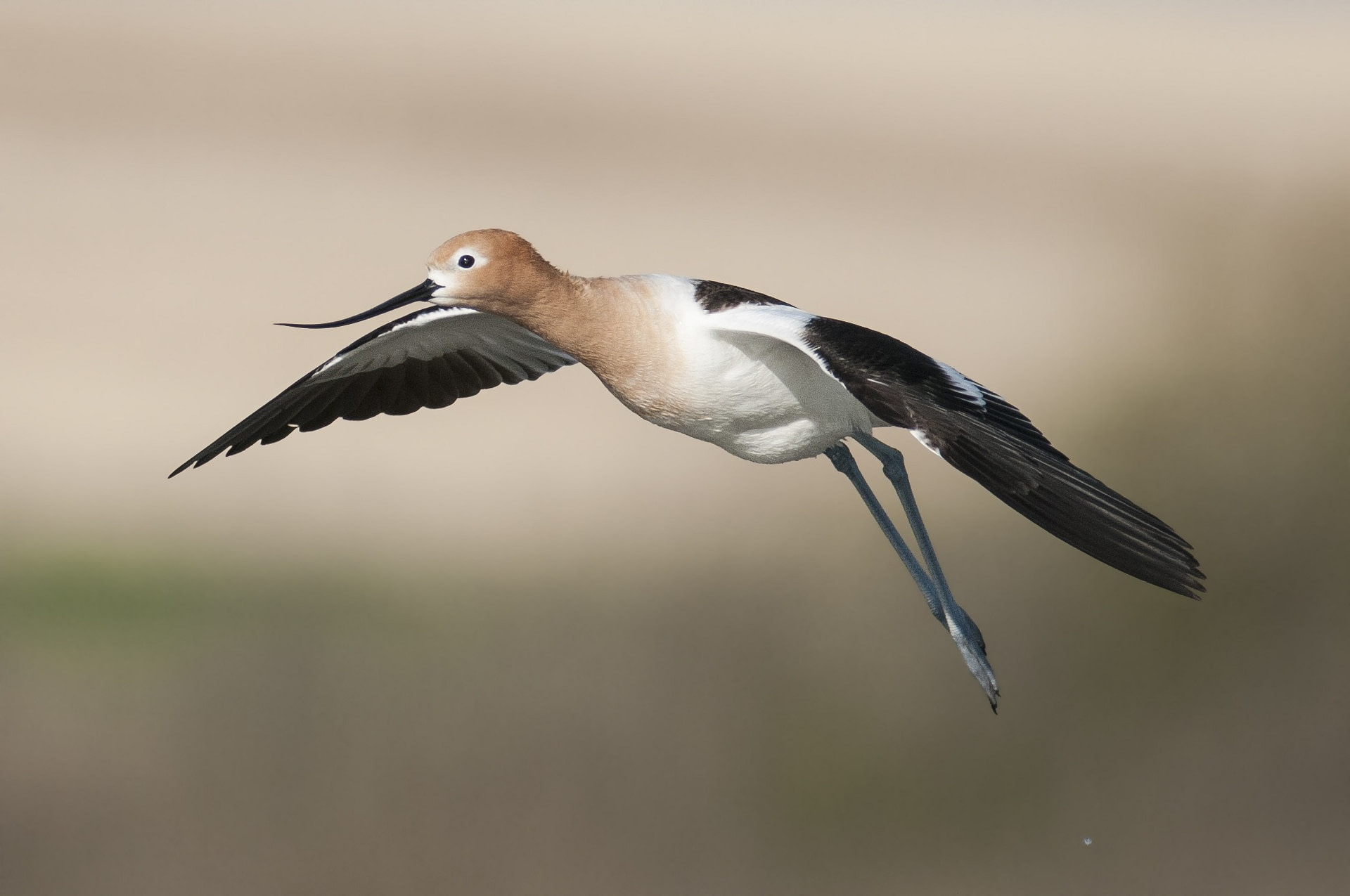 American Avocet in flight and about to land
