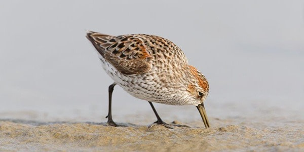 Western Sandpiper foraging on mudflats