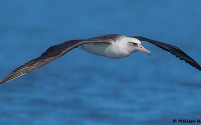 La Journée mondiale de l'albatros 2021 met l'accent sur la haute mer