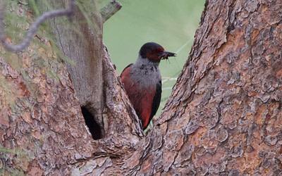 Dénombrements d'oiseaux en péril dans le sud de l'Okanagan