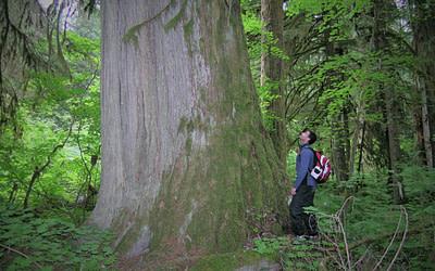La coupe de bois dans la forêt ancienne en Colombie-Britannique