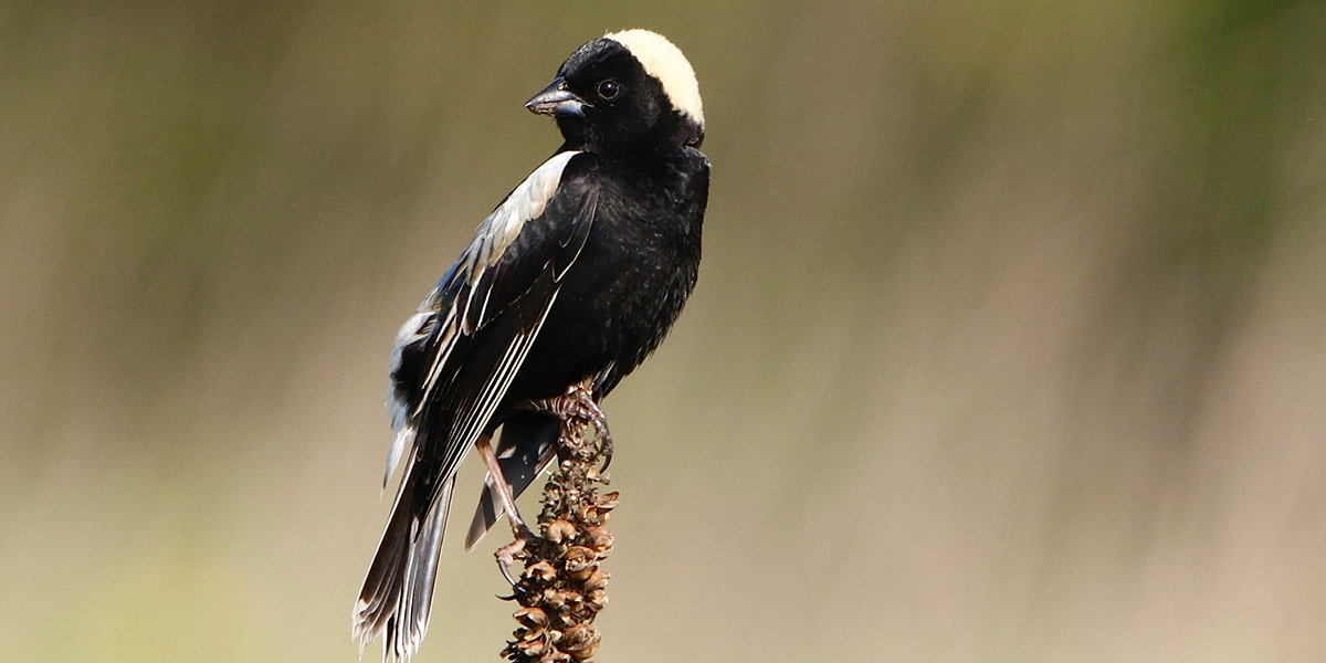 A black, white, and yellow bird - a male Bobolink - perched jauntily on a tall, thin plant