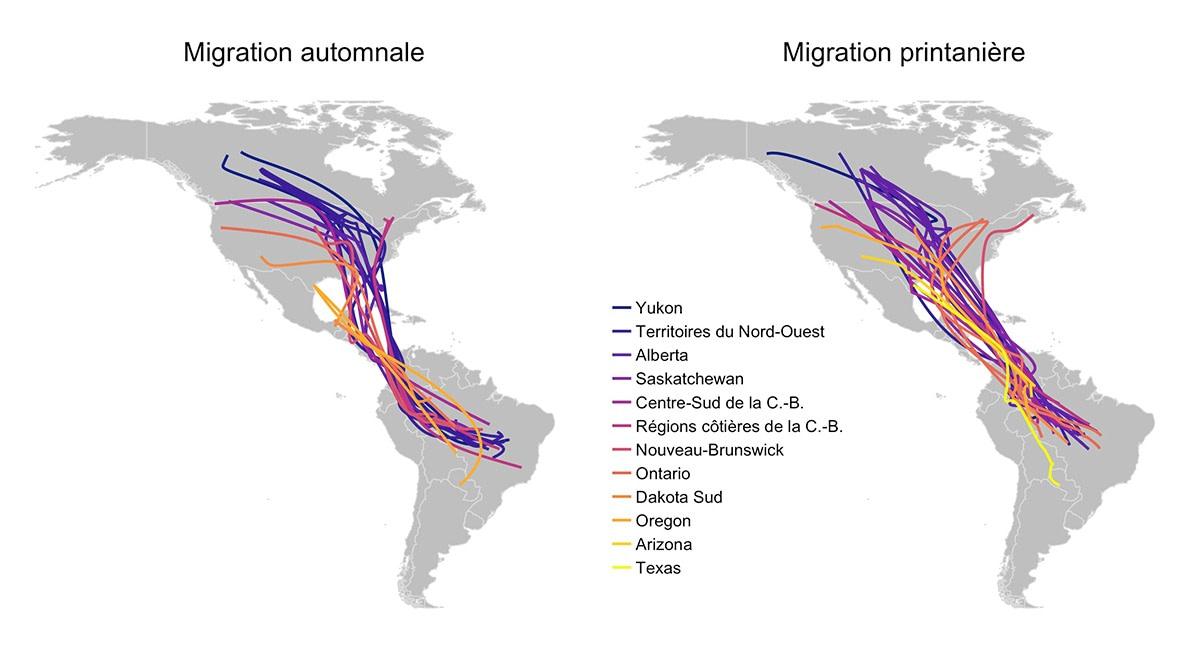 Carte montrant les routes migratoires printanières et automnales des différentes populations