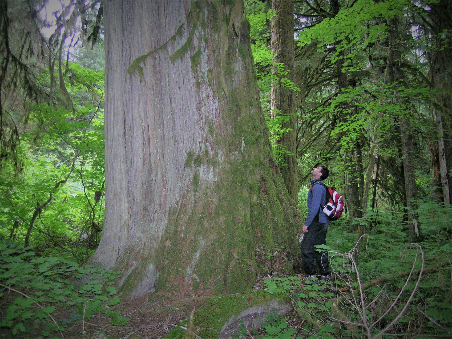 A man stands beside and looks up at a gigantic old growth tree on the coast of BC