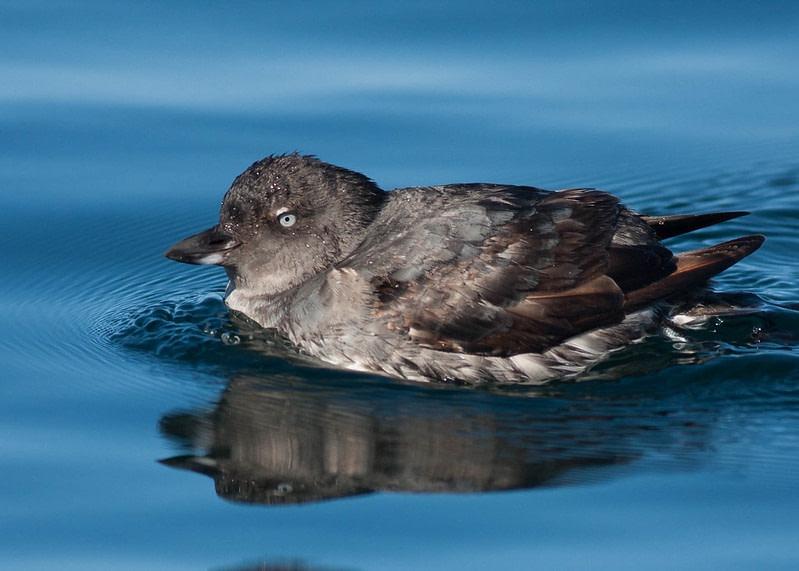 Les effets sur les Oiseaux de la marée noire sur la côte californienne