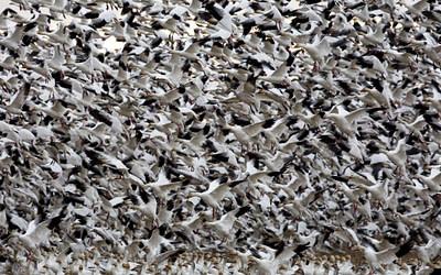 Un nouvel article souligne l'importance du delta du Fraser pour l'avifaune