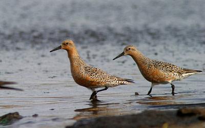 Évaluation récente de quatre espèces d'oiseaux par le COSEPAC