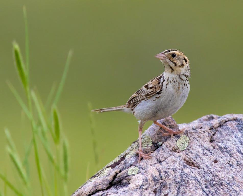 Nos décisions d'achat aident les prairies et les oiseaux qui y nichent