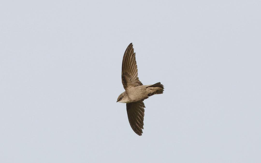 Programme de conservation des insectivores aériens