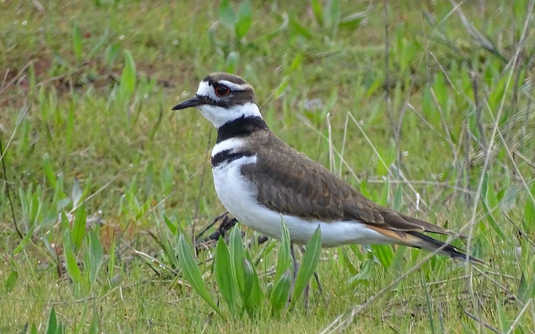 Des citoyens scientifiques nous aident à déterminer les avantages de la réduction de la circulation pour les oiseaux du Refuge d'oiseaux migrateurs de la Lagune-Esquimalt