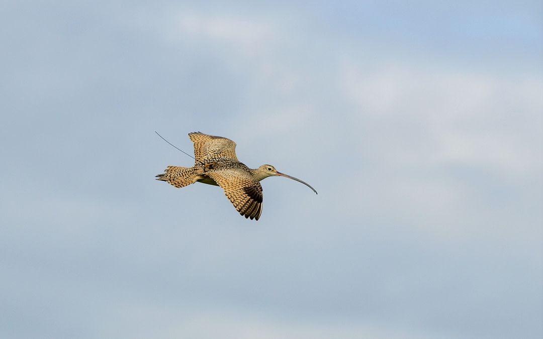 Long-billed Curlew habitat use and migration