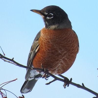 Face à la COVID-19 – ce que fait Oiseaux Canada et ce que vous pouvez faire