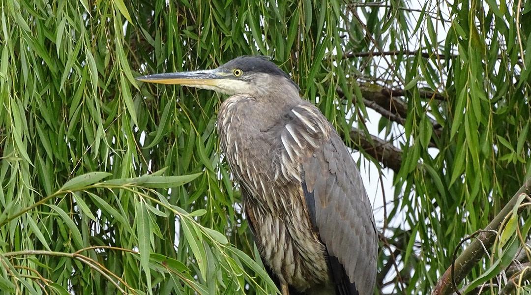 Apprécier et protéger les oiseaux de Delta (C.-B.)